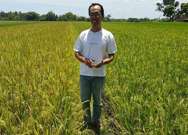 Pak Suyanto tampak berdiri dekat sawahnya yang subur di sebelah kiri